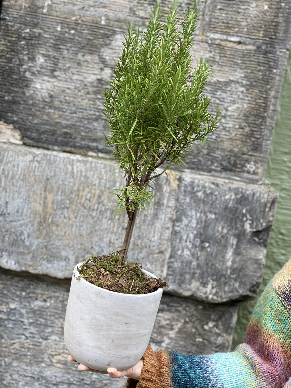 Rosemary Topiary Planter Rogue Flowers